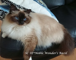 GIP SC SE*Noble Wonder's Bazil