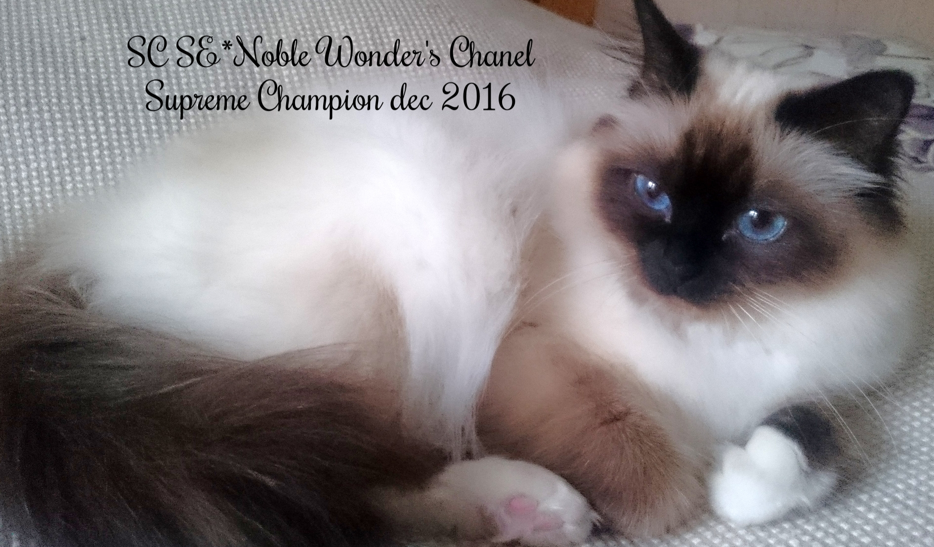 SC SE*Noble Wonder's Chanel, Supreme Champion
