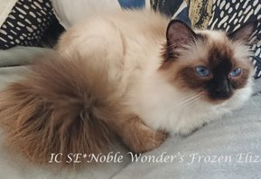 IC SE*Noble Wonder's Frozen Eliza