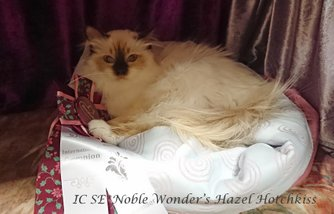 IC SE*Noble Wonder's Hazel Hotchkiss , tagit titeln Int. Champion